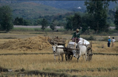 Man in oxcart at harvest time - Shan State, Burma (photo by Naomi Duguid)