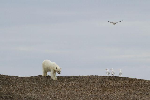 Melting Away: Polar Bears on Thin Ice, Svalbard, June 2010 (photo © Camille Seaman)