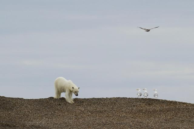 Melting Away: Polar Bears on Thin Ice, Svalbard, June 2010 (photo © Camille Seaman)