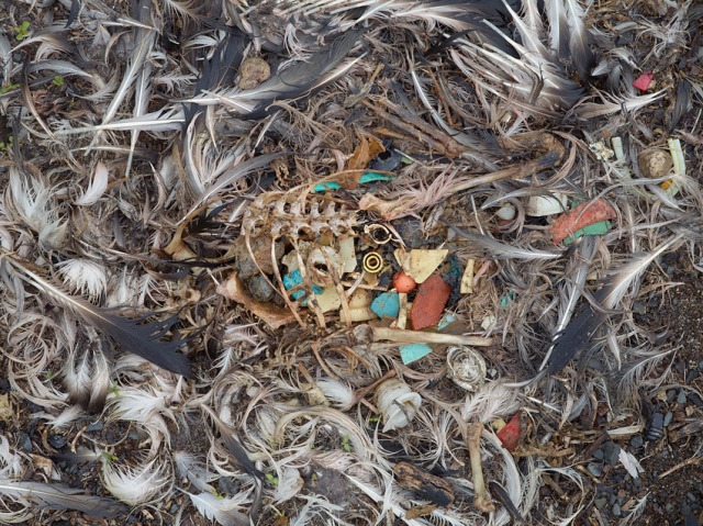 "A photo from Chris Jordan's series ""Midway: Message from the Gyre"" depicting the stomach contents of a baby albatross that has died from ingesting too much plastic (photo courtesy of Chris Jordan)"