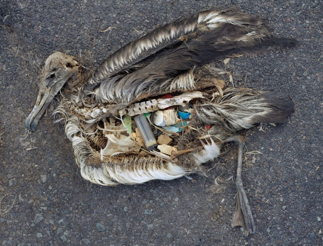 "A photo from Chris Jordan's series ""Midway: Message from the Gyre"" depicting a baby albatross on Midway Atoll that has died from ingesting too much plastic (photo courtesy of Chris Jordan)"